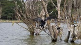rovník : Big Cormorant Flaps Its Wings And Sits On The Dried Branches Of Flooded Trees Dostupné videozáznamy