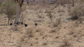 kuş sürüsü : Herd Of Vulturine Guineafowl Running One After Another To A Tree In The Desert Stok Video