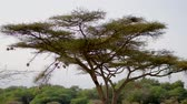 pintos : Birds Nests At The Ends Of Acacia Tree Branches For Protection From Predators