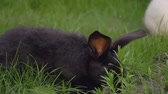 ферма : Black Funny Rabbit With Big Ears Jumps On A Green Meadow And Eats Grass