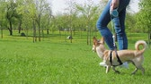 привязь : Hostess Walks Her Funny Small Dog On Leash At Green Lawn In Sunny Day In Park