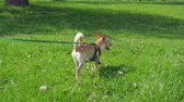 póráz : Funny Small Dog On Leash At Green Lawn In Sunny Day In Park Stock mozgókép