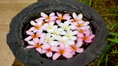 плюмерия : Vase Of Water With Pink And White Frangipani Flowers In It