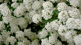 低木 : Blooming Spirea Many White Flowers 動画素材