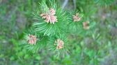 výhonky : Young Shoots Of Pine Trees In Spring Growth At The Ends Of The Branches Of Tree