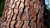weathered : Red Texture Of The Bark Of The Pine Tree Stock Footage