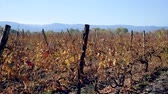 vine branch : View Of The Vineyard With Colorful Leaves On Autumn Day Stock Footage