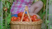 vime : Elderly Woman Collects Hands In A Basket Of Ripe Tomatoes In The Greenhouse