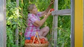 vime : Elderly Caucasian Woman Collects Ripe Red Tomatoes In A Basket In A Greenhouse