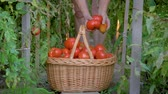 vime : In Greenhouse An Elderly Woman Collects Ripe Tomatoes And Puts Them In Basket Stock Footage