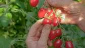 выборе : Hands Of Mature Woman Collected From A Bush In A Greenhouse Red Cherry Tomatoes