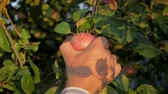 agronomist : Hands Of The Old Farmer Collected The Tree Ripe Apple Close Up Slow Motion