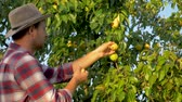 pereira : Man Farmer Harvests Ripe Pears From A Tree In Summer In A Garden At Sunset