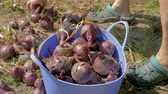 Hands Of An Old Farmer Collect Ripe Red Onions From The Plantation In Bucket 動画素材