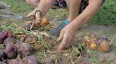 Farmer Cleans Ripe Onion From Unnecessary Shuck And Lays It On Ground For Drying