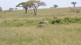 tusks : Lonely Little Elephant Has Strayed From Flock Or Lost In Wild African Savannah