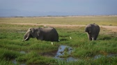 tusks : Wild African Big Elephants Grazing Grass Standing In The Swamp In Savannah Stock Footage