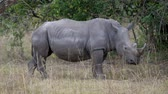 rhino poaching : Close Up Side View Of An Adult White Rhino In An African Nature Reservation