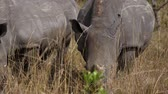 rhino poaching : Close Up Of African White Rhinos Grazing The Dry Grass In The Savannah Stock Footage