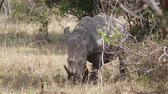 чаща : Wild White Rhino Defecates Covering His Eyes In Bushes Of The African Savannah