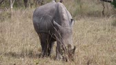 bulle : Portrait Of An African White Rhino Grazing In A Bush In The Wildlife Savannah