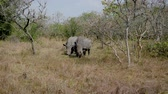 Крюгер : Rare Wild Adult African Wild Rhinos Grazing Grass By The Bushes In Reservation
