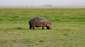 suaygırı : Wild African Hippopotamus Grazing With Fresh Green Grass On African Reservation