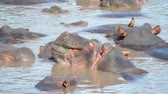 iszapos : Wild Herd Of African Hippopotamus Sleep And Rest In The Water Muddy River Stock mozgókép