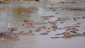 suaygırı : Panorama Rookery Huge Herd Of Hippos In The African Mara River With Brown Water Stok Video