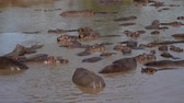suaygırı : Panorama Rookery Big Herd Of Hippos In The African Mara River With Brown Water