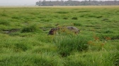suaygırı : Hippopotamus Walk On A Swampy Pasture Area With Green Grass In African Savannah