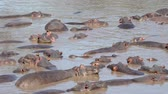 kuş sürüsü : Large Herd Of African Hippopotamus Sleep And Rest In Water Muddy River Or Lake Stok Video