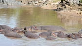 kuş sürüsü : Herd Of African Hippos Nice Sleeping And Resting In Muddy Brown Water Of Lake Stok Video