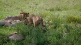 tanzanya : In Pride Lioness Looking For Place To Sleep Under Shade Of Bush In Savannah