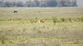 mara : Wild Lion Lies On The Grass Of The Savannah On A Hot Day With The Effect Of Haze