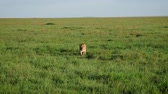 sangrento : Lioness With A Face In Blood Walks In A Plain Of Pasture In The African Savannah