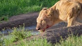 roi : African Wild Lioness With A Bloodied Face Drinking Water From A Puddle Close Up