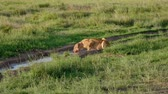 roi : African Lioness With Bloody Face Drinking Water From Puddles In Wild In Pasture