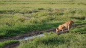 Намибия : African Lioness With A Bloody Face Bends To Drink Water From Puddles In The Wild