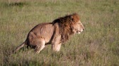 mara : Adult Lion Defecates In African Savanna Wildlife Side View Stock Footage