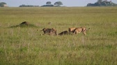 roi : Pride Of Lions Eating Caught Prey In The African Savanna Wildlife Of Reservation