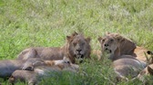 etobur hayvan : Lion With Lioness Caress Lying Under The Shade Of Trees In The African Savannah Stok Video