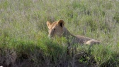 roi : Lazy African Lioness Lying On Grass In Savannah Resting After Eating Prey Vidéos Libres De Droits