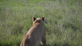 roi : African Lioness Looks Around And Lies Down In The Grass Of The Savannah To Rest Vidéos Libres De Droits