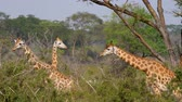 keňa : Wild African Giraffes In The Thickets Of Acacia Bushes And Jungles