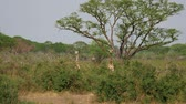 akác : Wild African Giraffes Hide And Graze In Thickets Of Thorns Among Acacia Trees