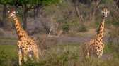 camelopardalis : Close Up Portrait Of Two Beautiful Wild African Giraffes In Green Bushes Stock Footage