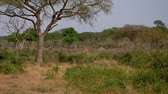 camelopardalis : Wild African Giraffes Graze In Thickets Of Thorns Among Acacia Trees Stock Footage