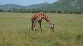 чаща : Giraffe In The Pasture Eating Grass Stretching Its Front Legs Out To The Sides
