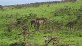 camelopardalis : Giraffes On A Hill In Bushes With Thorns Grazing Leaves In Wild African Savannah